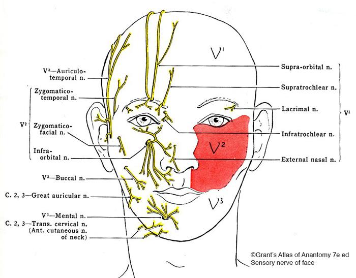 Sensory nerves of face nerf sensitif de la face-Dr Chamberland orthodontiste à Québec